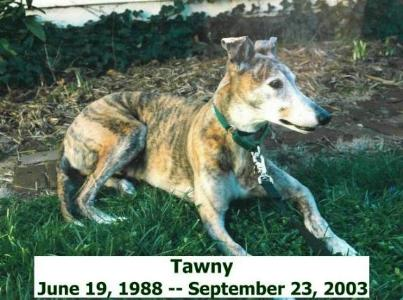 Tawny the Greyhound